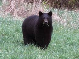 Bear in Brookville July 2018