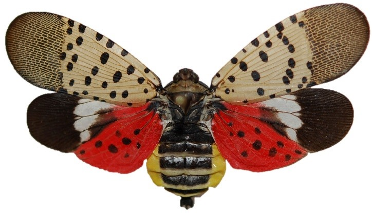 spotted lanternfly invasive