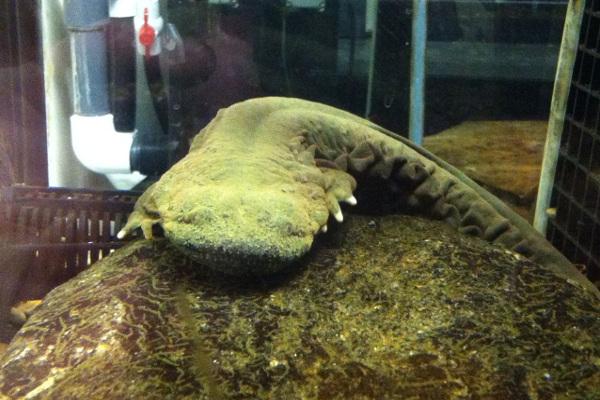Hellbender Salamander